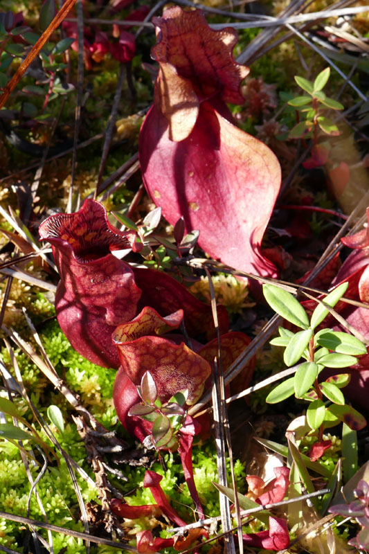Pitcher plants (Sarracenia purpurea and Sarracenia rubra)  – photo by Ralph Tramontano