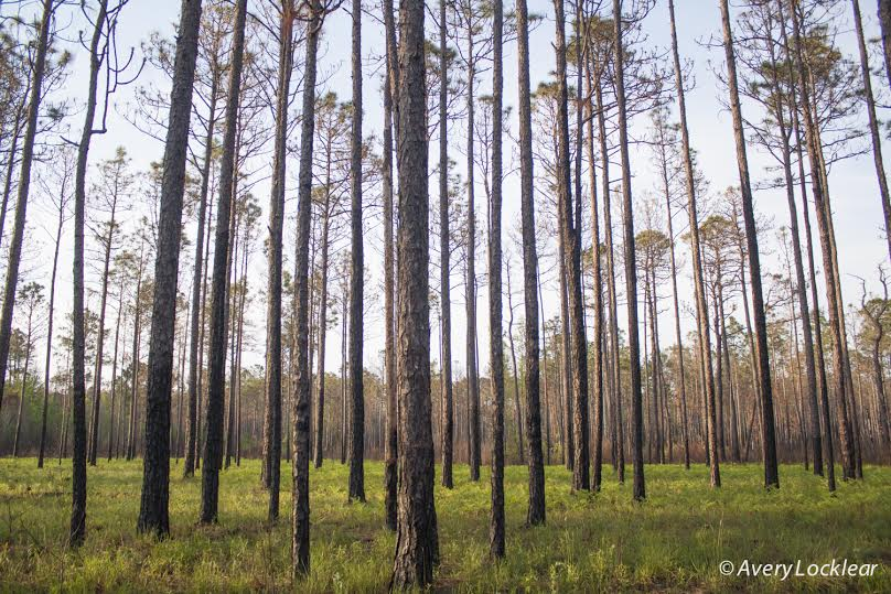 Pine forest in Sheep Ridge Wilderness