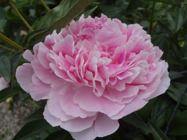 A peony from the TYEF Youth Garden. A project supported by trans youth interns and the TransKids Purple Rainbow Foundation.