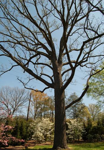 Bur Oak