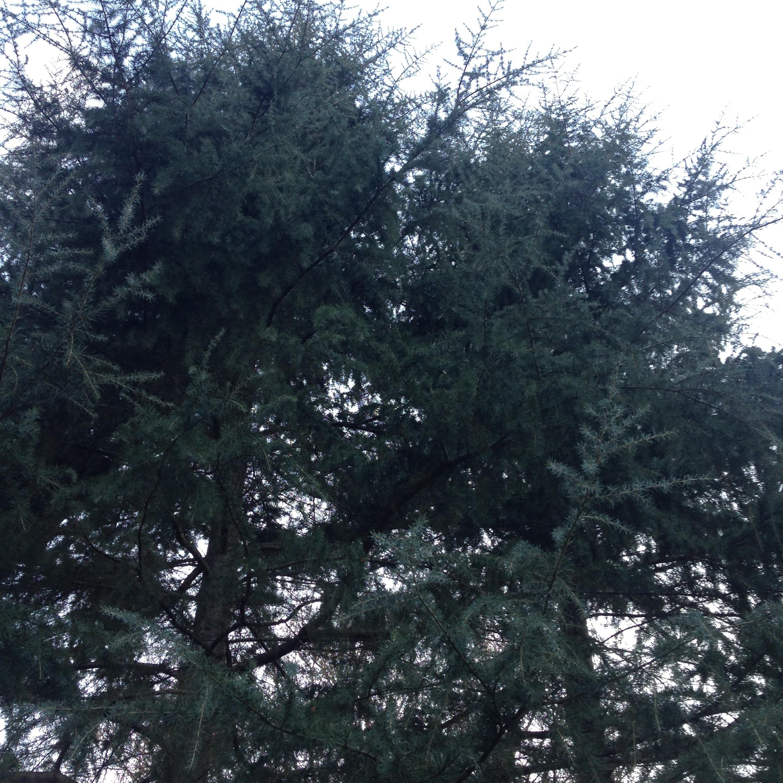 Blue Atlas Cedar (Cedrus atlantica)