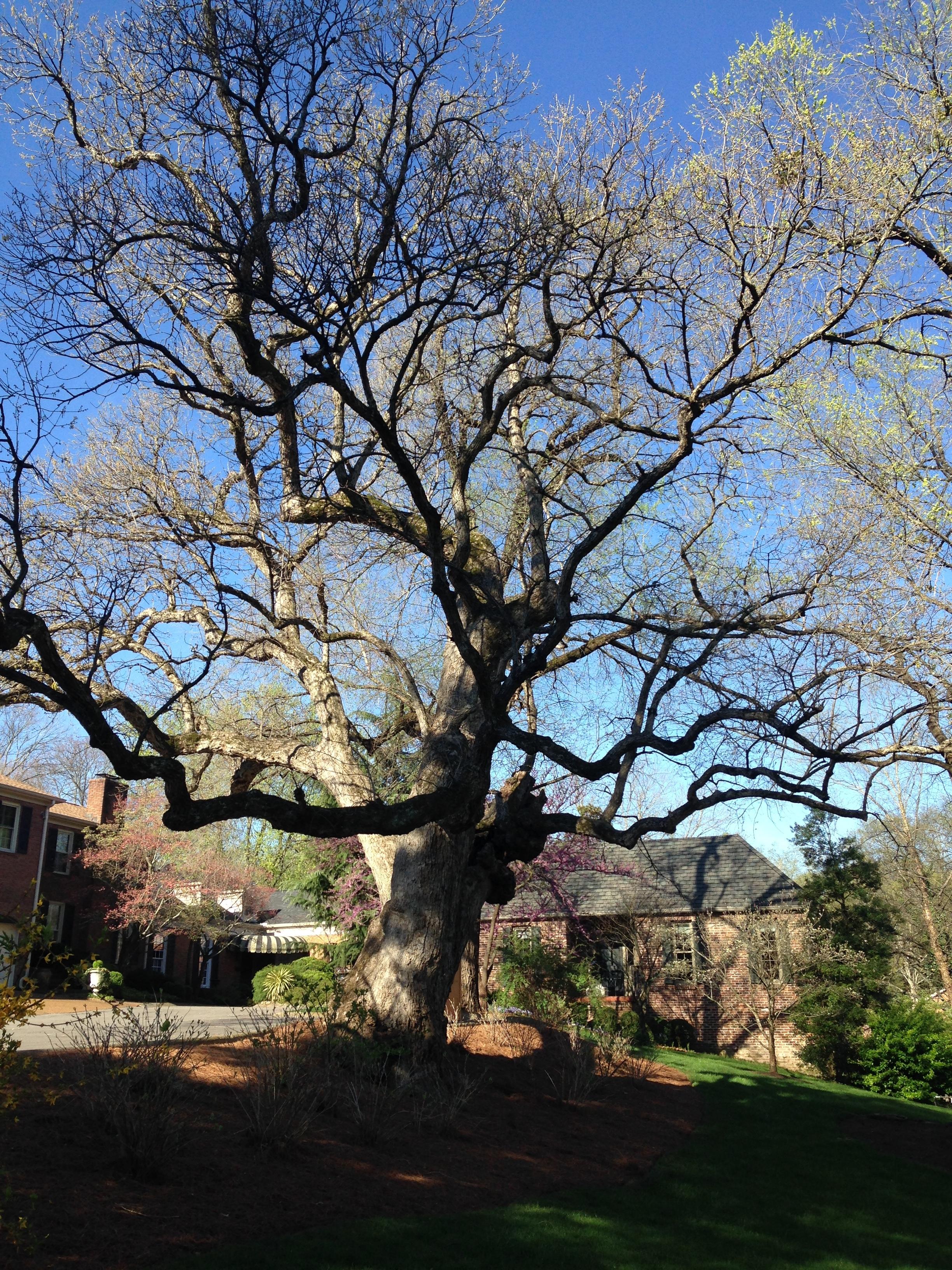 Chinkapin Oak (Quercus muehlenbergii)