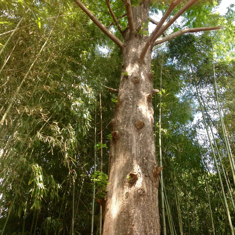 Dawn Redwood (Metasequoia glyptostroboides)