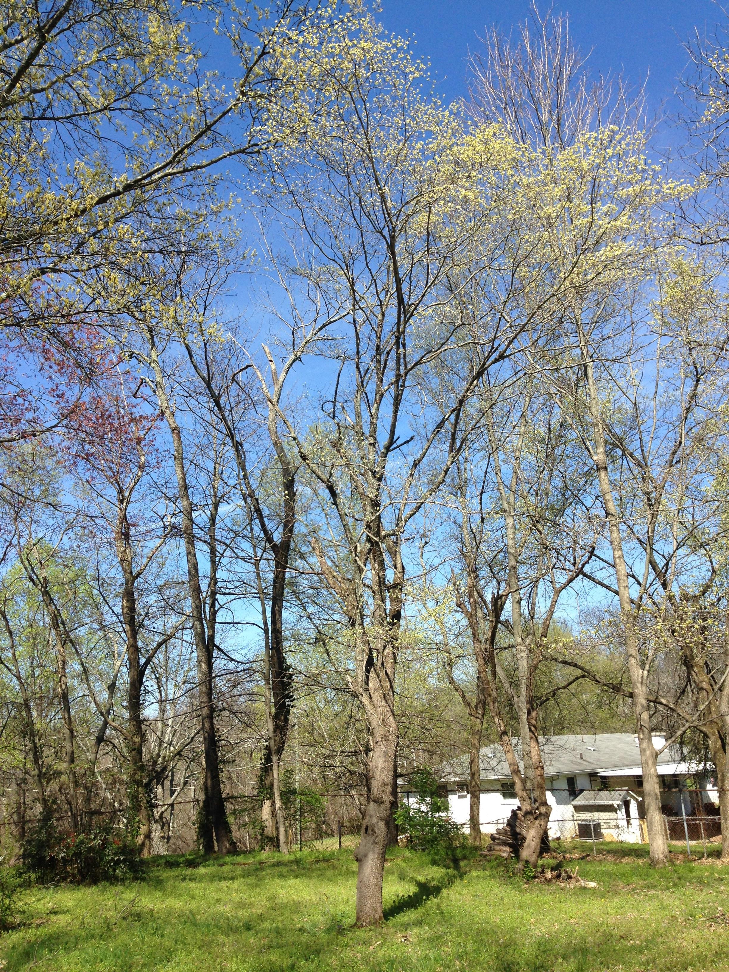 Dogwood (Cornus florida)