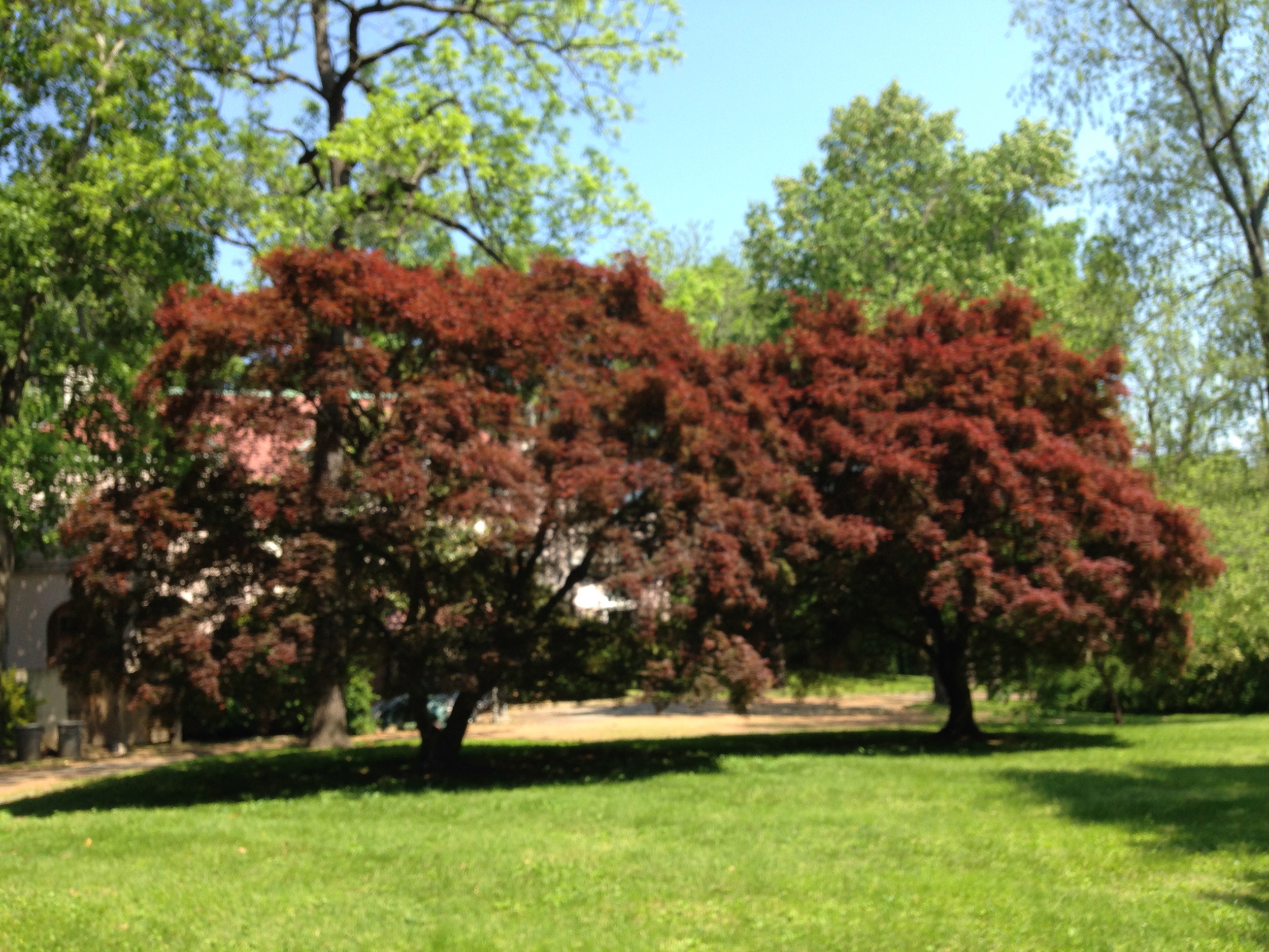 Japanese/Red Leaf Maple (Acer palmatum)
