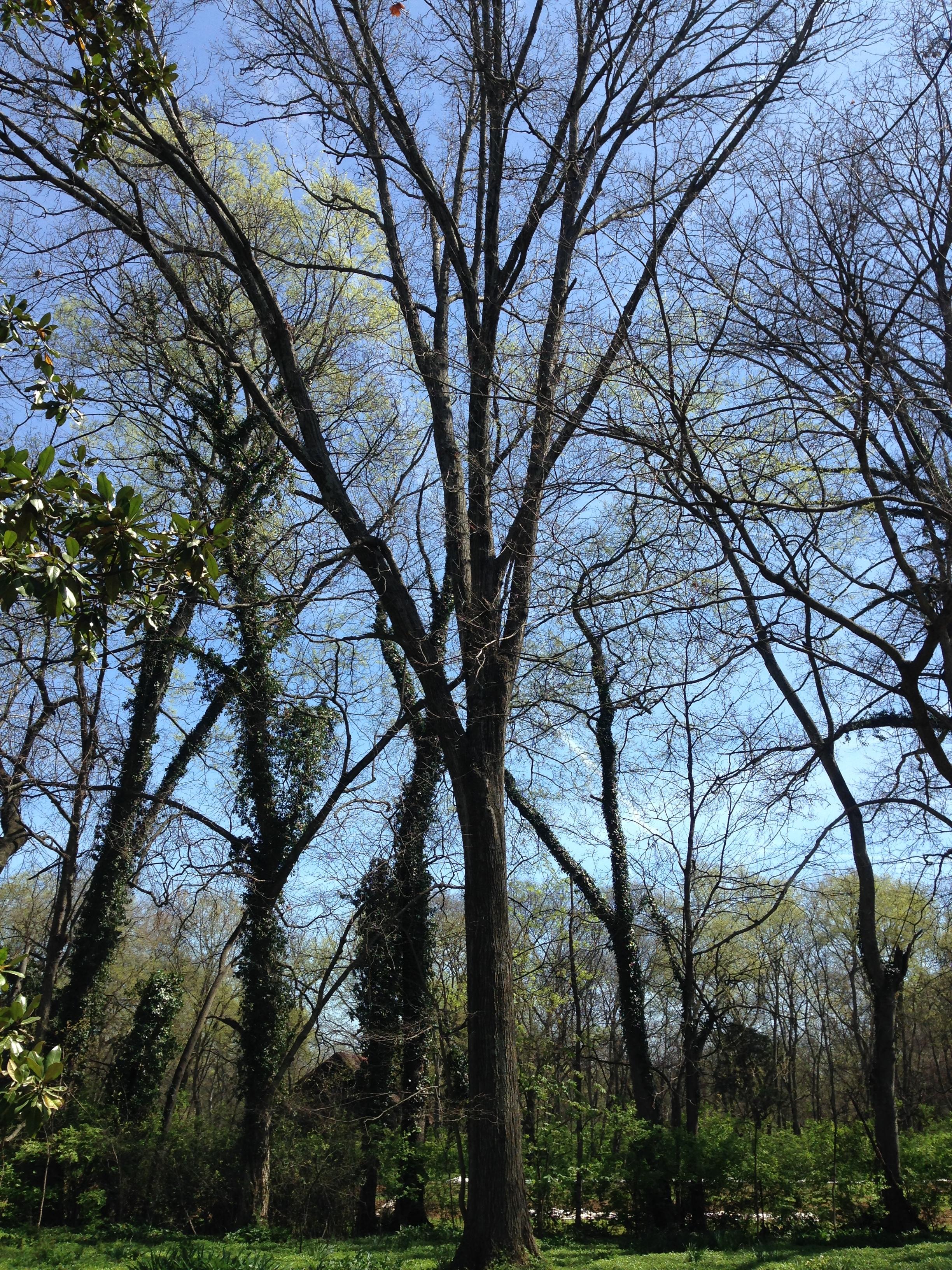 Shingle Oak (Quercus imbricaria)