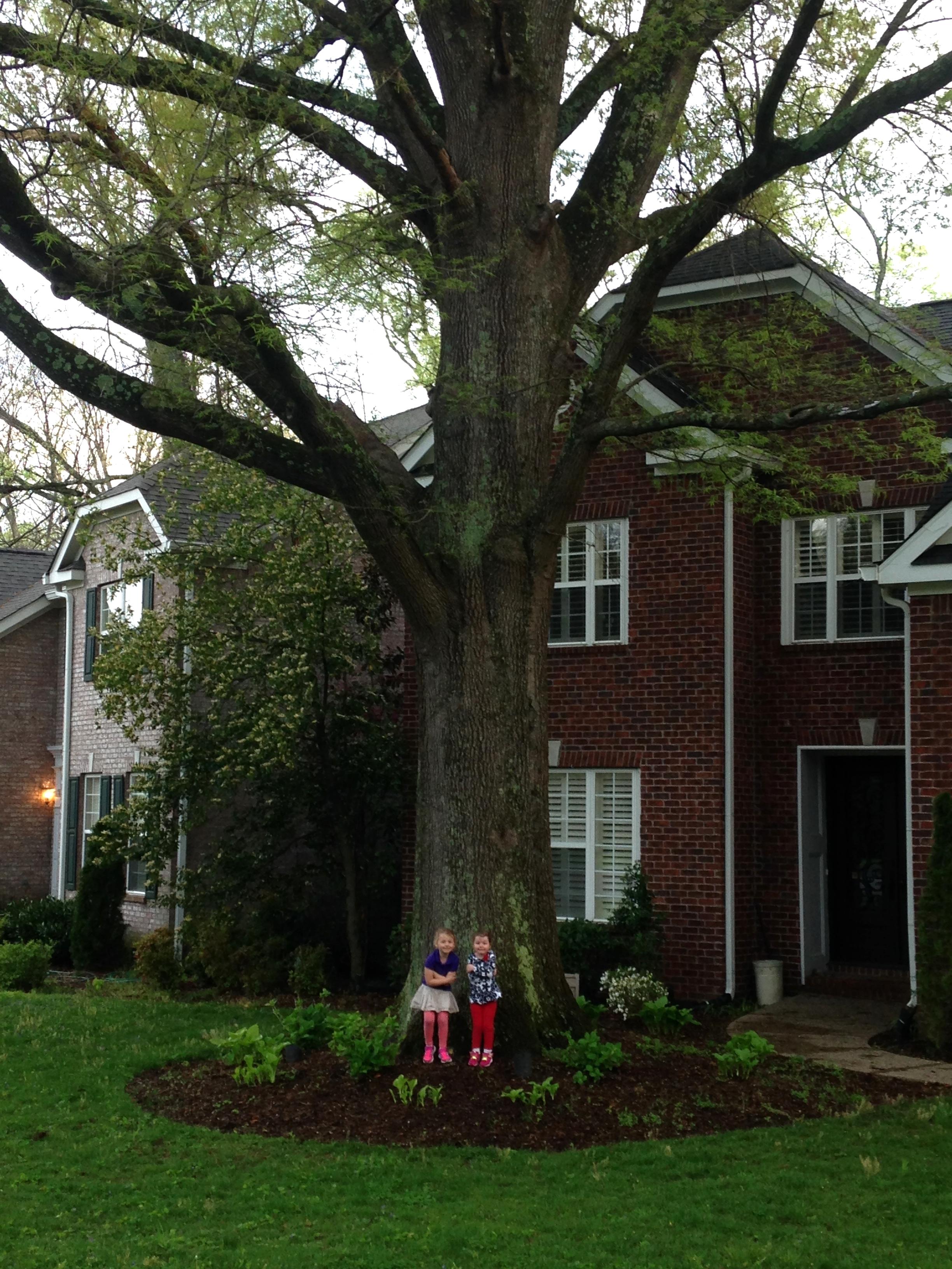 Willow Oak (Quercus phelos)