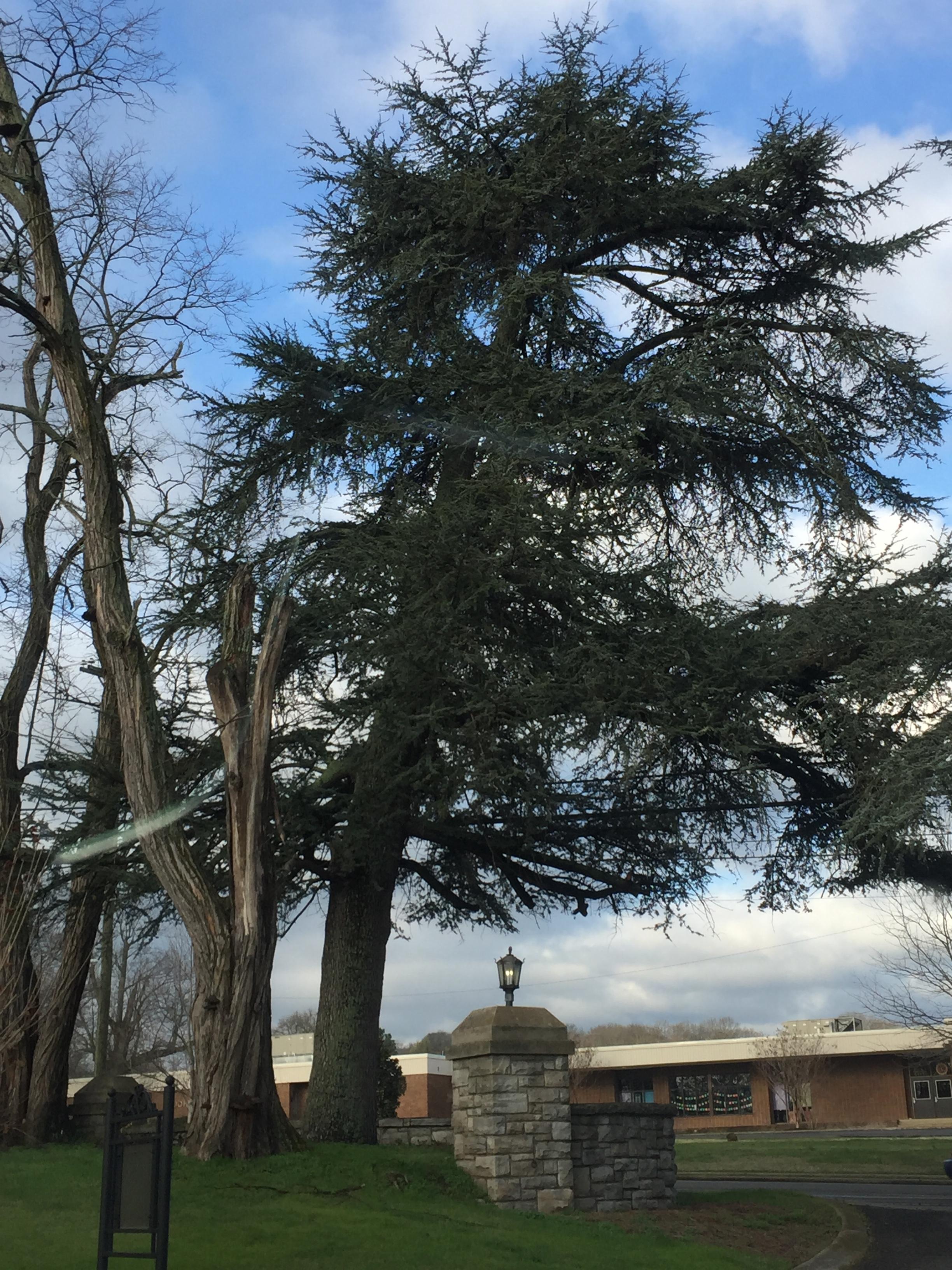 Atlas Blue Cedar