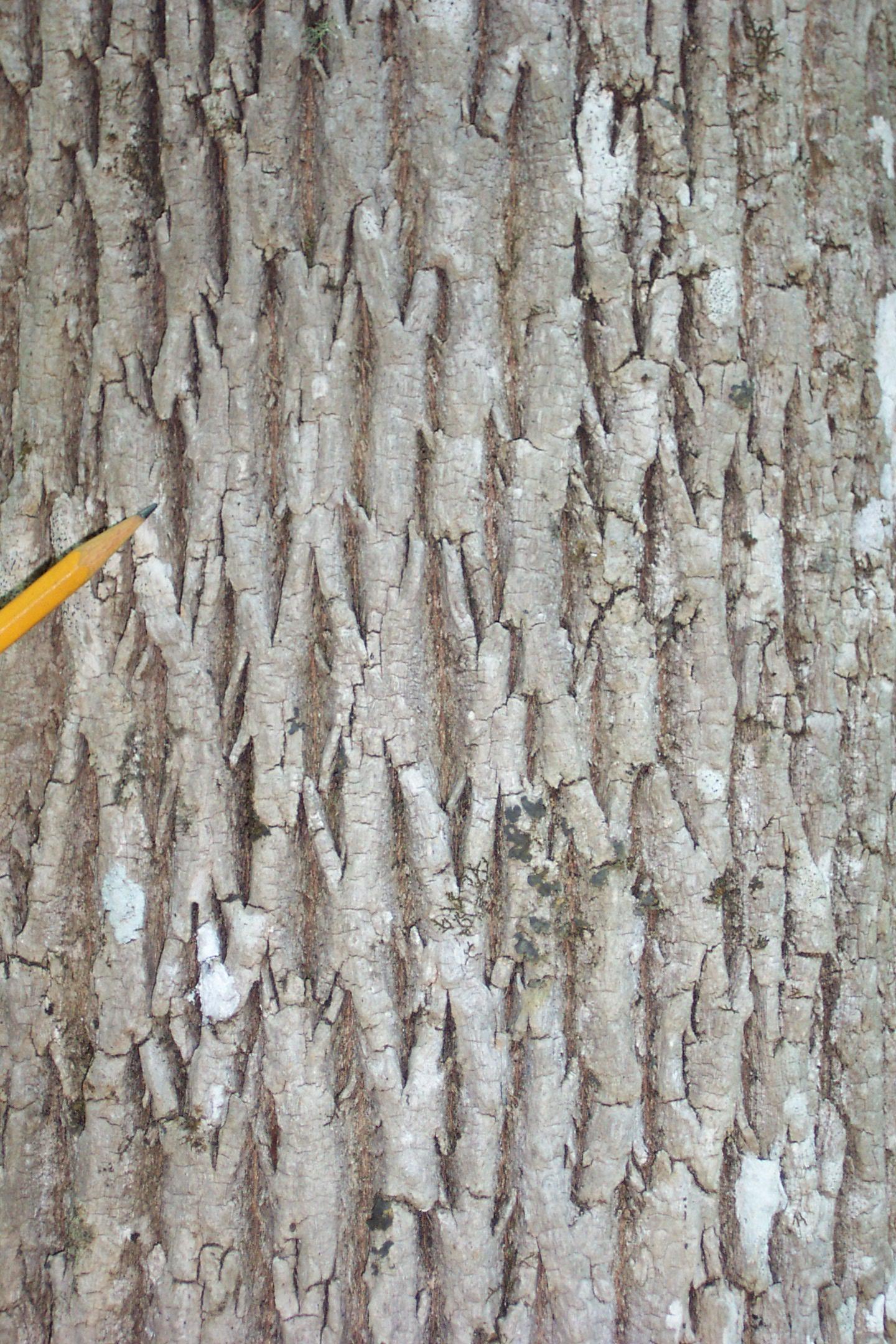 ash-bark.jpg