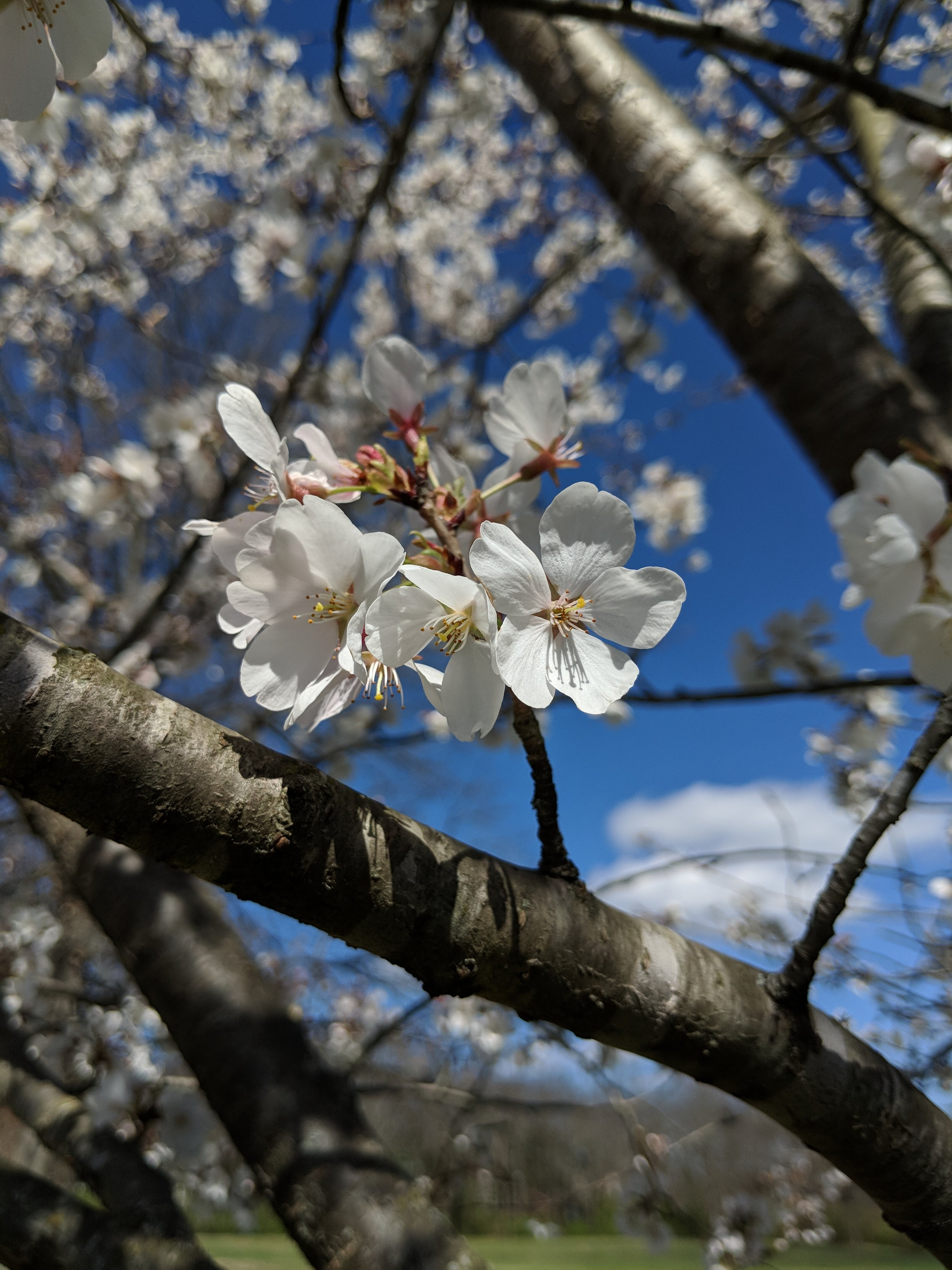 Press on Cherry Trees - Click here for Tennessean/AP Wire storyClick here for News Channel 2Click here for News Channel 5Click here for News Channel 4Click here for Fox 17 News