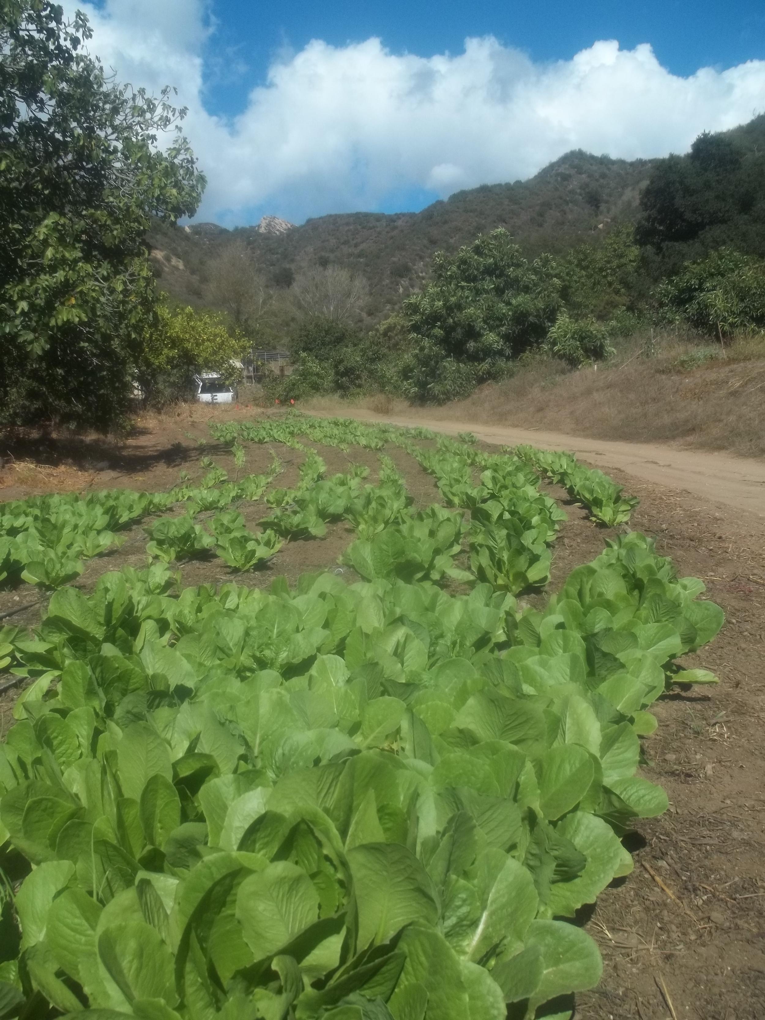 2013 Oct roamine lettuce.JPG