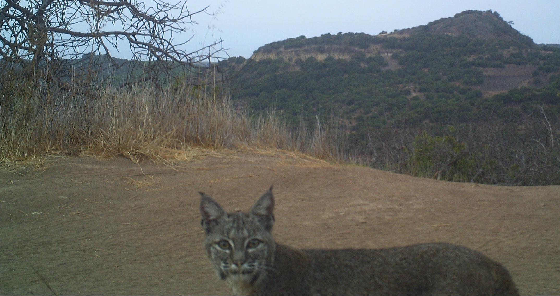 Critter-cam selfie of our resident bobcat.