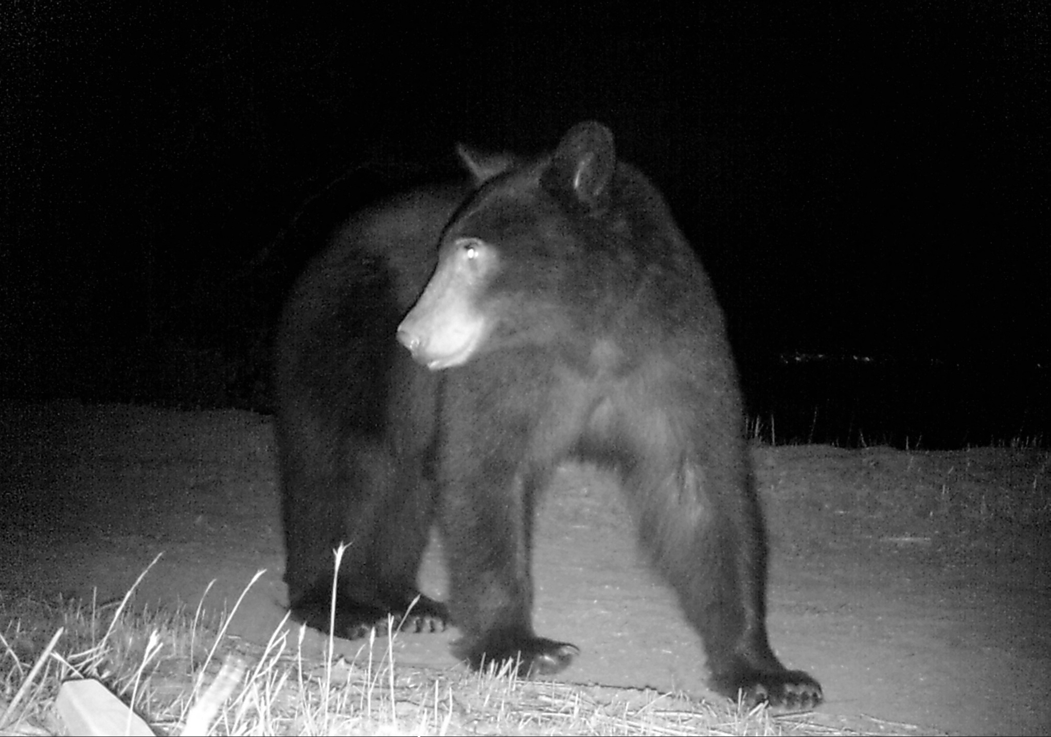 Mother black bear, nocturnal foraging.