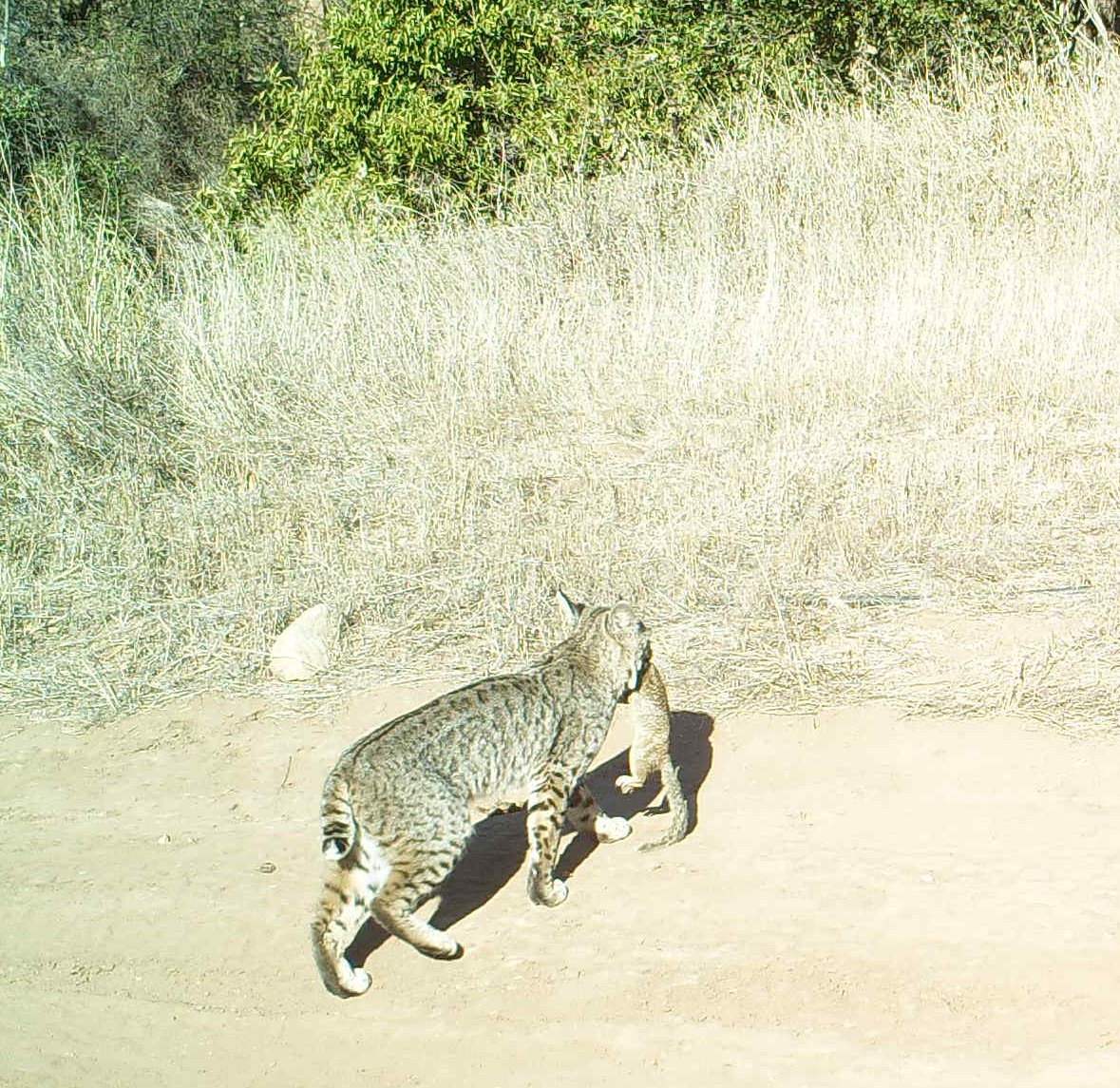 Apex predators such as the bobcats help control the ground squirrel population.