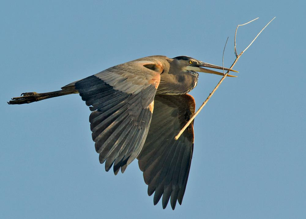 California Blue Heron