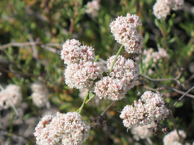eriogonum-fasiculatum-pinnacles-close.jpg