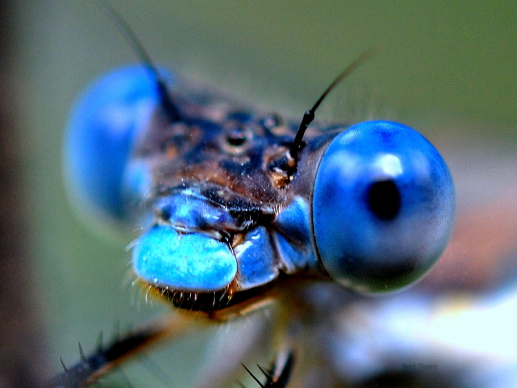 swamp_spread_wing_damselfly___lestes_vigilax_by_jawahunter003-d4o2ufj.jpg