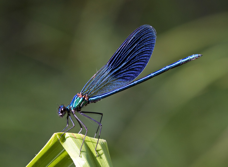 Kaibara87_-_Blue_Damselfly_(by).jpg