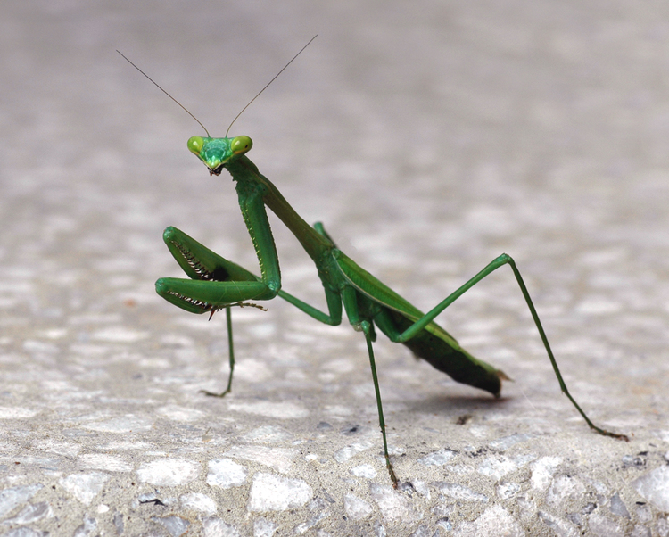 garden-beneficial-bugs-beneficial-insects-mantids-praying-mantis.jpg