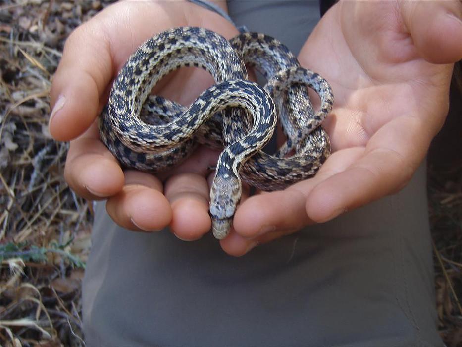 California Gopher Snake
