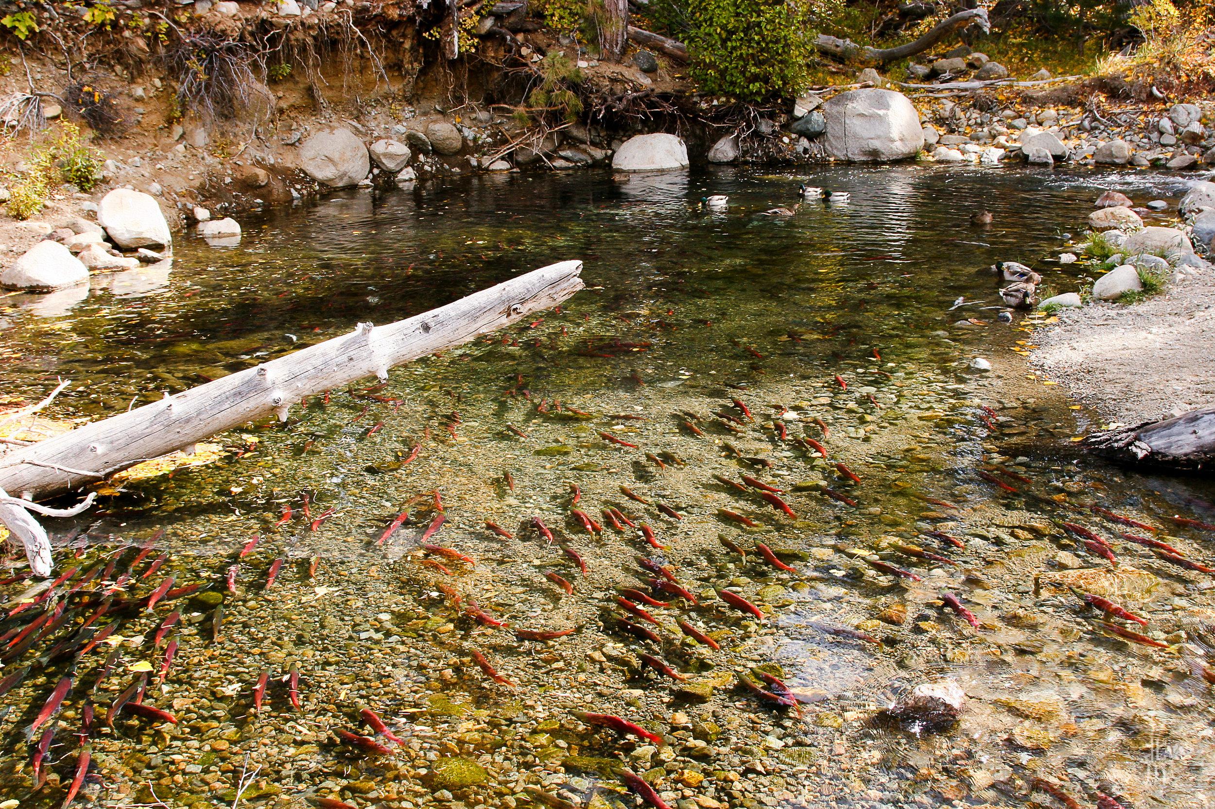 Salmon spawn.