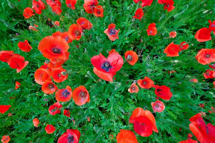Poppies have been a symbol of Remembrance since the First World War