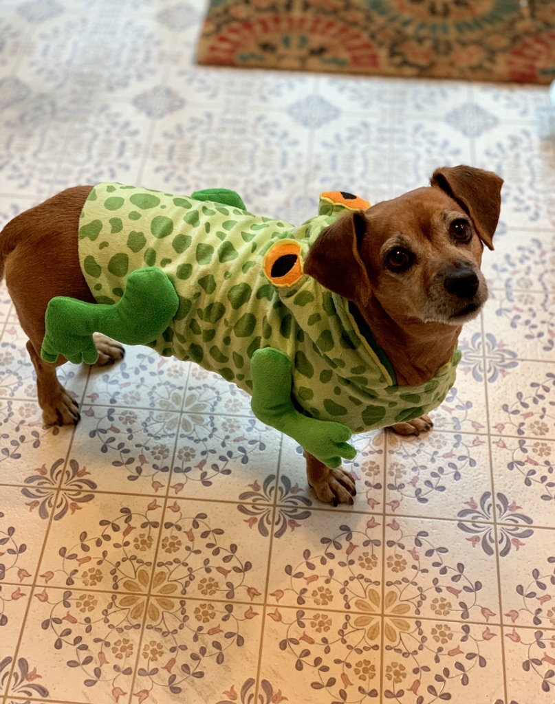 "My job wouldn't be complete without including a nice image of ROSIE! Rosie all dressed up for Halloween (as a ""Frog Dog"") so I thought I would snap a quick iPhone pic! Love that little friend..."