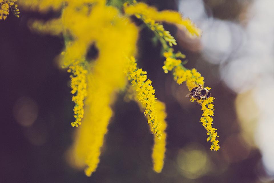 goldenrod-sarapatton2014-960w.jpg