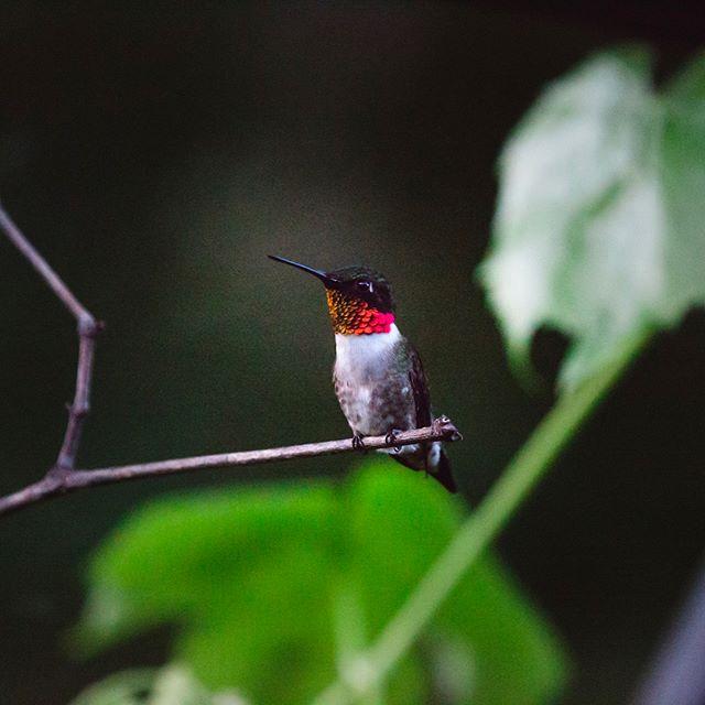 Hey little ruby ❤️ . . . . #rubythroatedhummingbird #hummingbird #athensohiophotographer #athensohio #ohiophotographer #hummingbirdsofinstagram #rubythroated