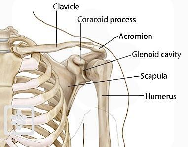 shoulder-diagram