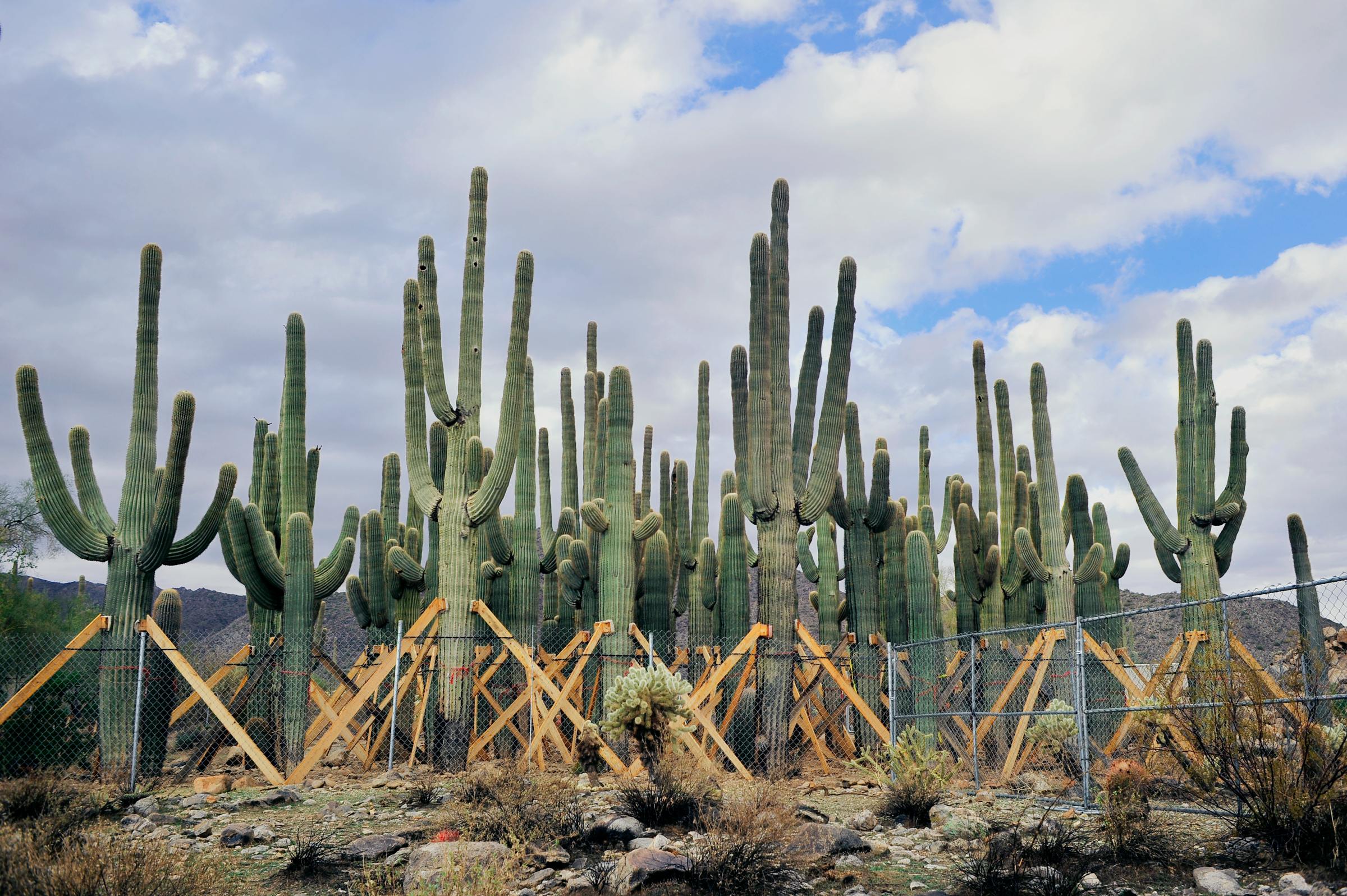 Saguaros in Chain Link Cage.jpg