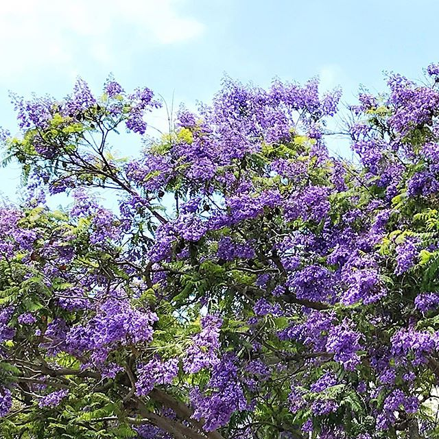 The Jacaranda trees are in full bloom today!