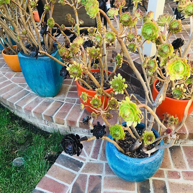 Summer Sunday #orangecounty #socal #garden #succulents #summertime