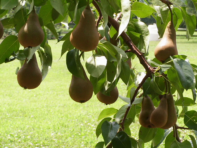 our pears from years past..