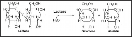 Hydrolysis of lactose to galactose and glucose via the lactase enzyme