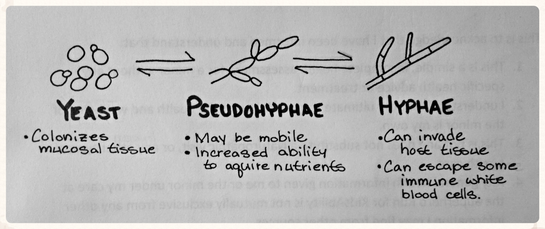 Candida can develop pseudohyphae and hyphae