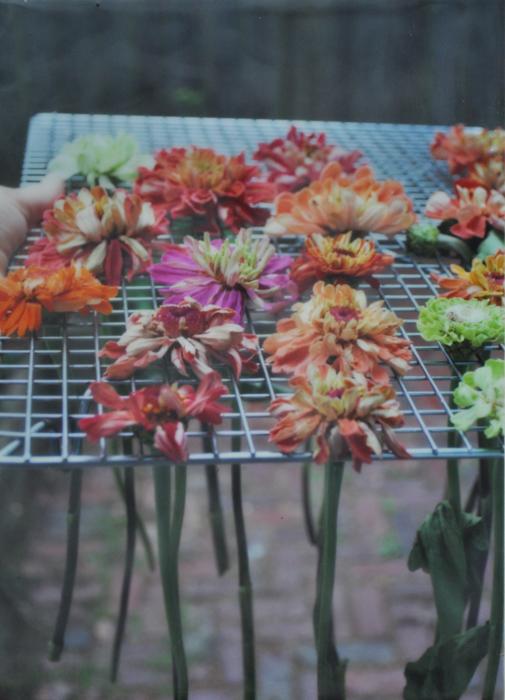 encaustic photo of drying zinnias.