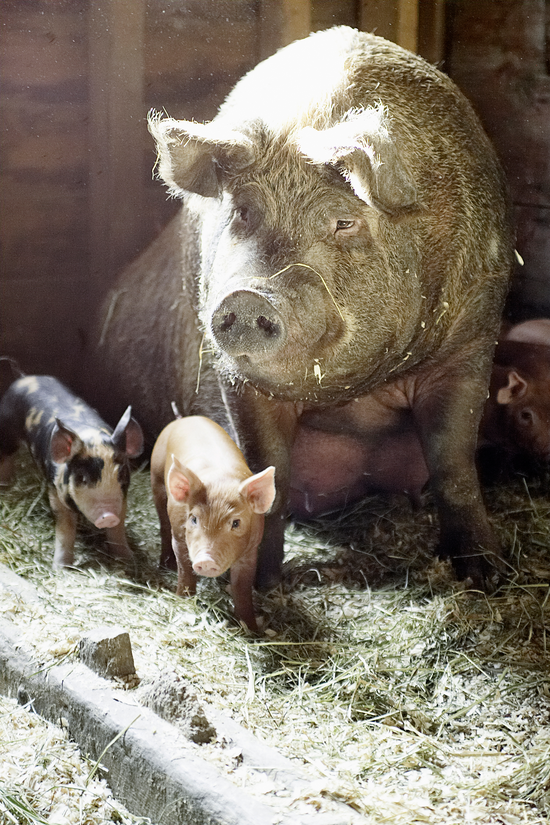 Blenheim-pigs.jpg