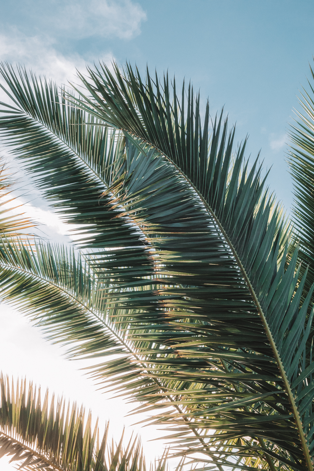 Palm Leaves Palm Leaves Venice Beach Photography / Canon 5D Mark IV / kelly creative
