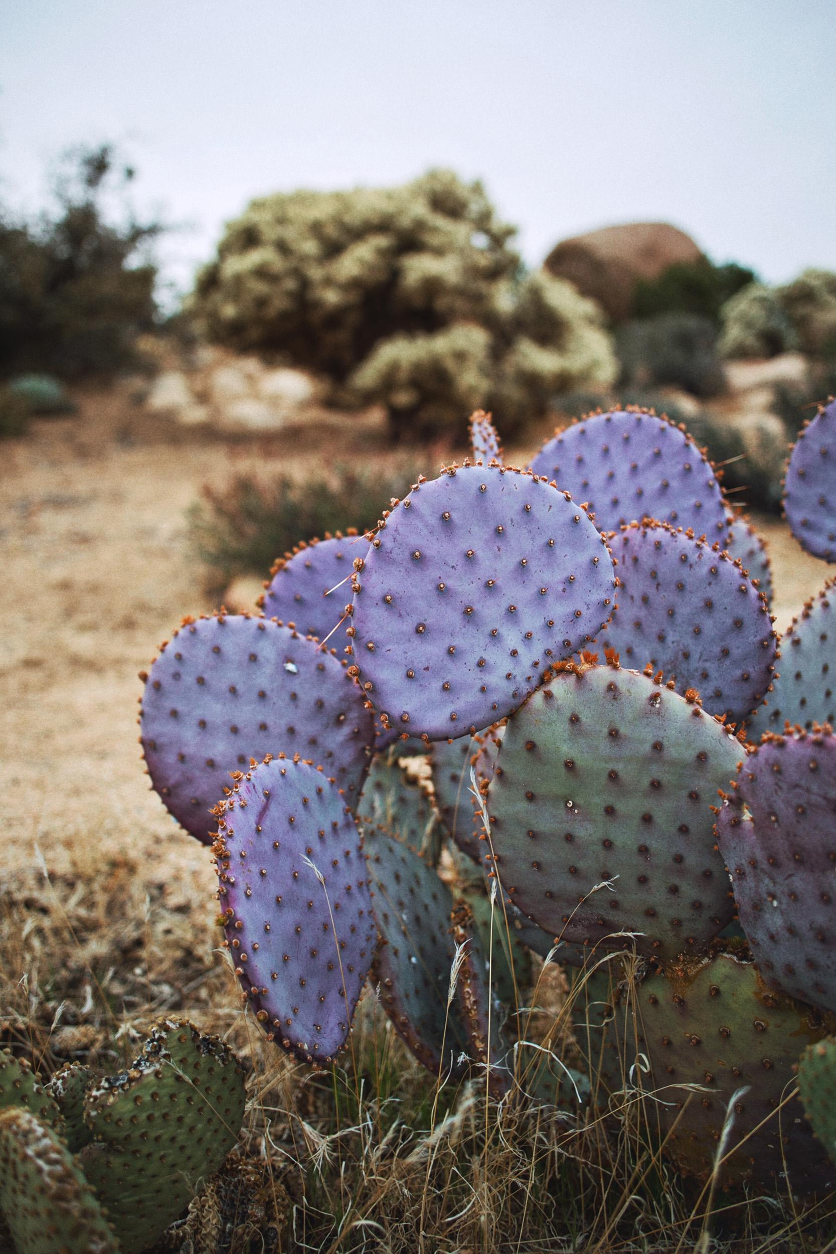 Purple Cactus Joshua Tree Photography