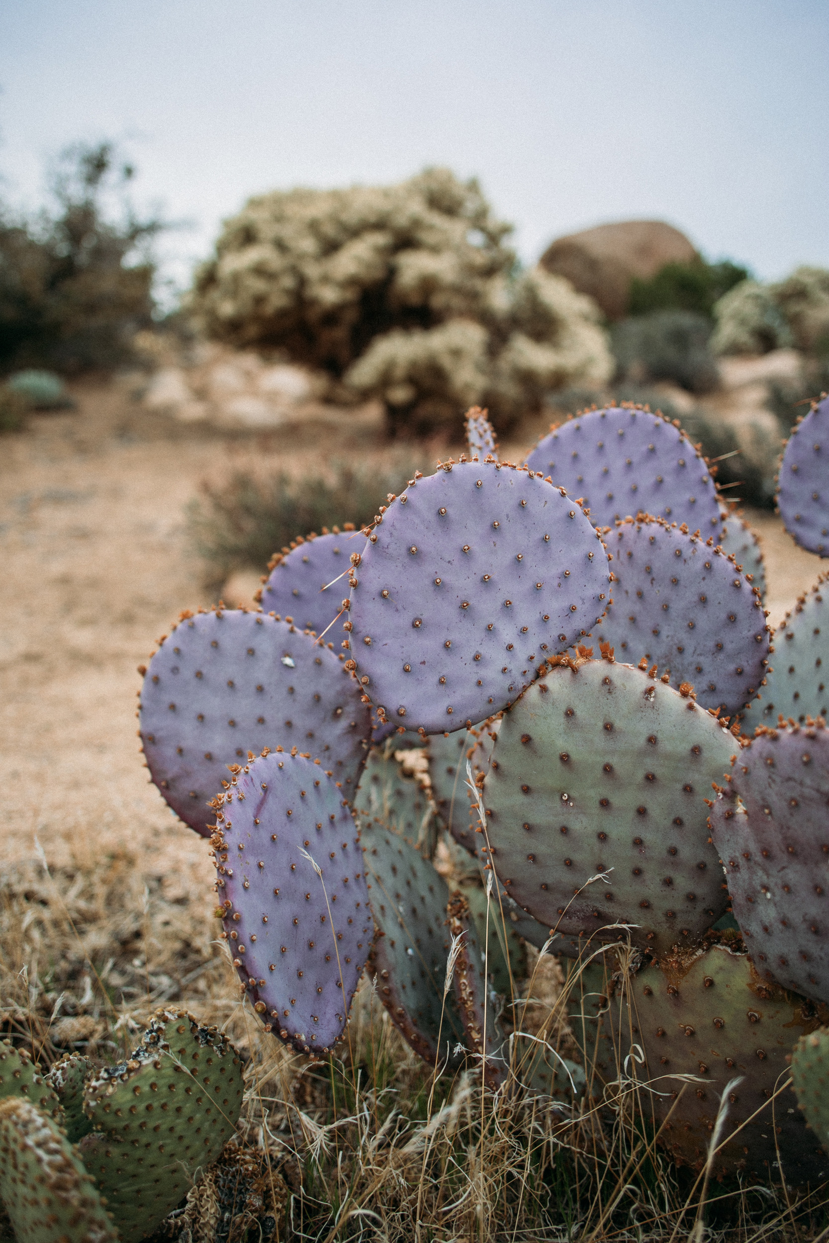 Joshua Tree Cactus Photography