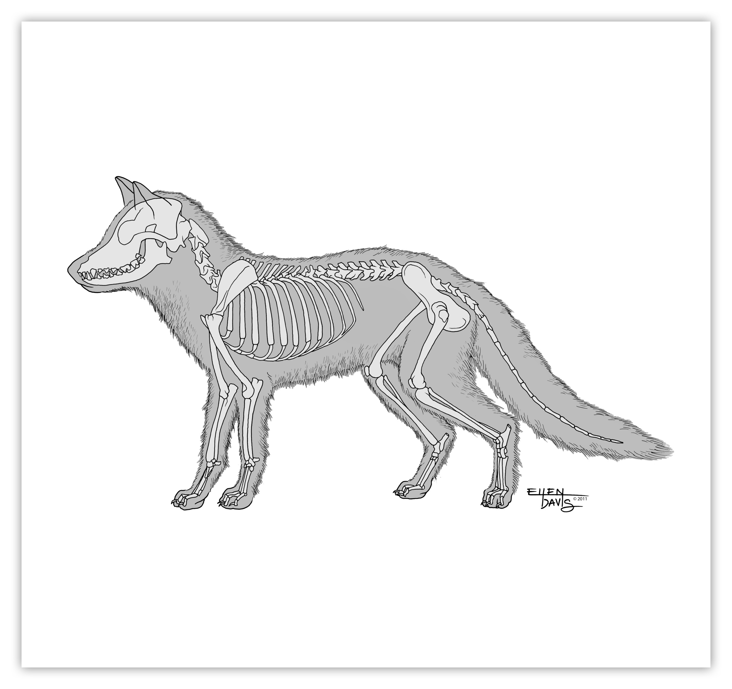 Skeletal Anatomy of the Fox   Medium:  Technical Pen, Illustrator, & Photoshop  Objective:  To provide lay readers an overview of the fox's skeletal anatomy as part of a larger series on fox hunting and trapping.  © 2011 Ellen Davis