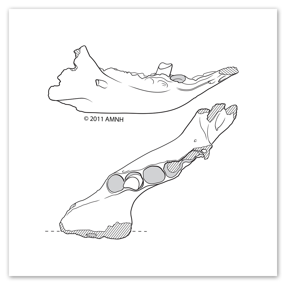 Prehistoric Sloth Jaw   Medium: Illustrator  Objective: To clearly illustrate the form of a discovered sloth jaw for a paleontological publication.  © 2011 American Museum of Natural History