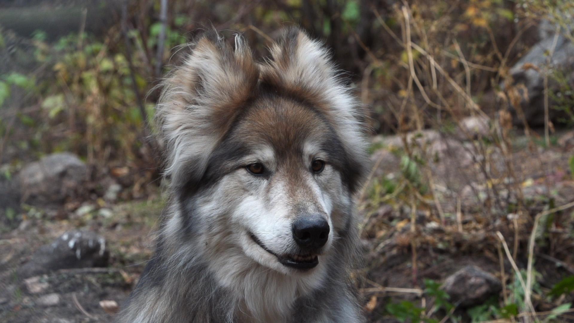 Wolfdog1.jpg