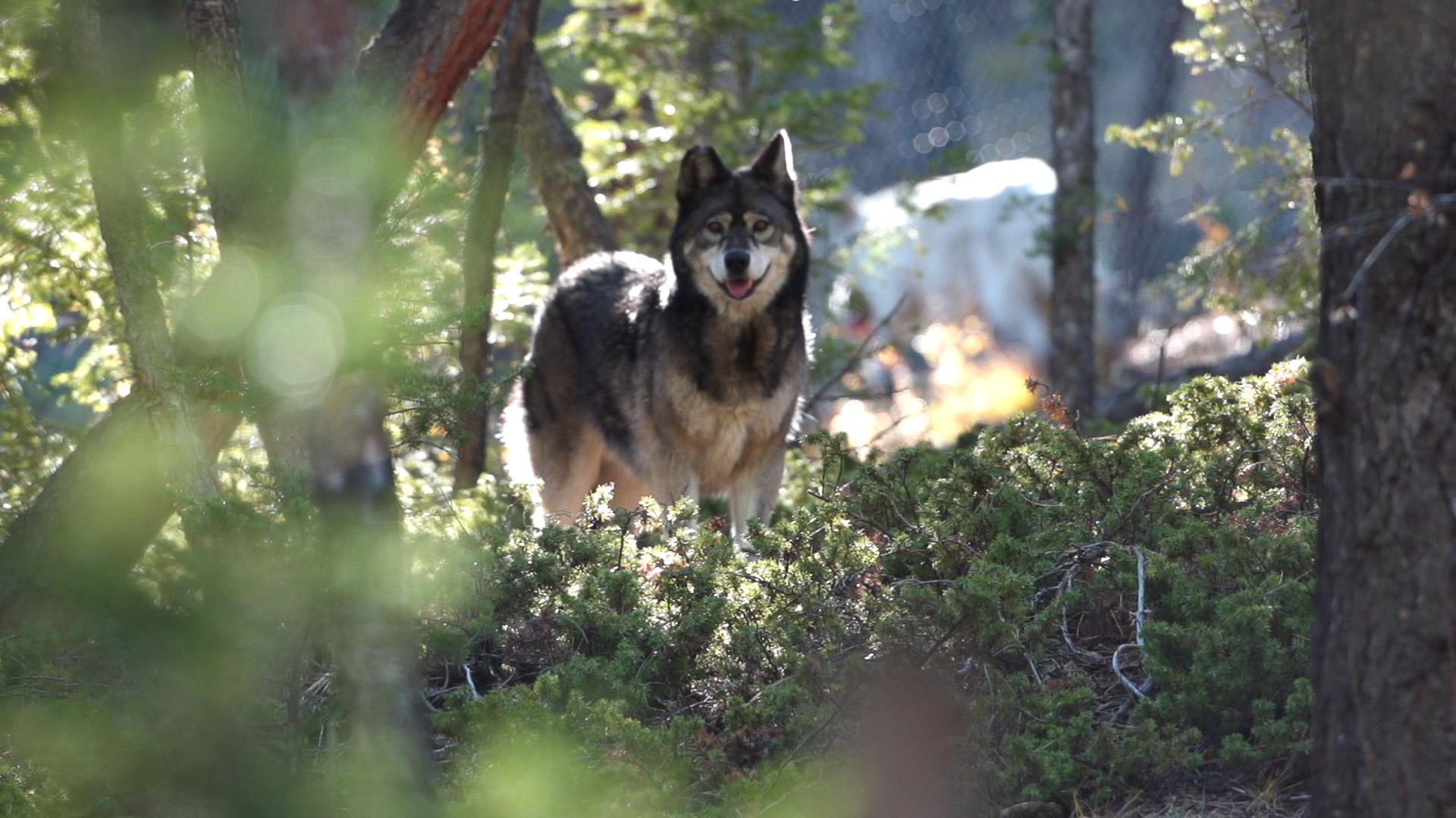 Wolfdog3.jpg