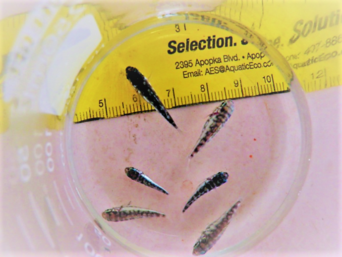 26 day-old  Kyphosus vaigiensis  learning their numbers.
