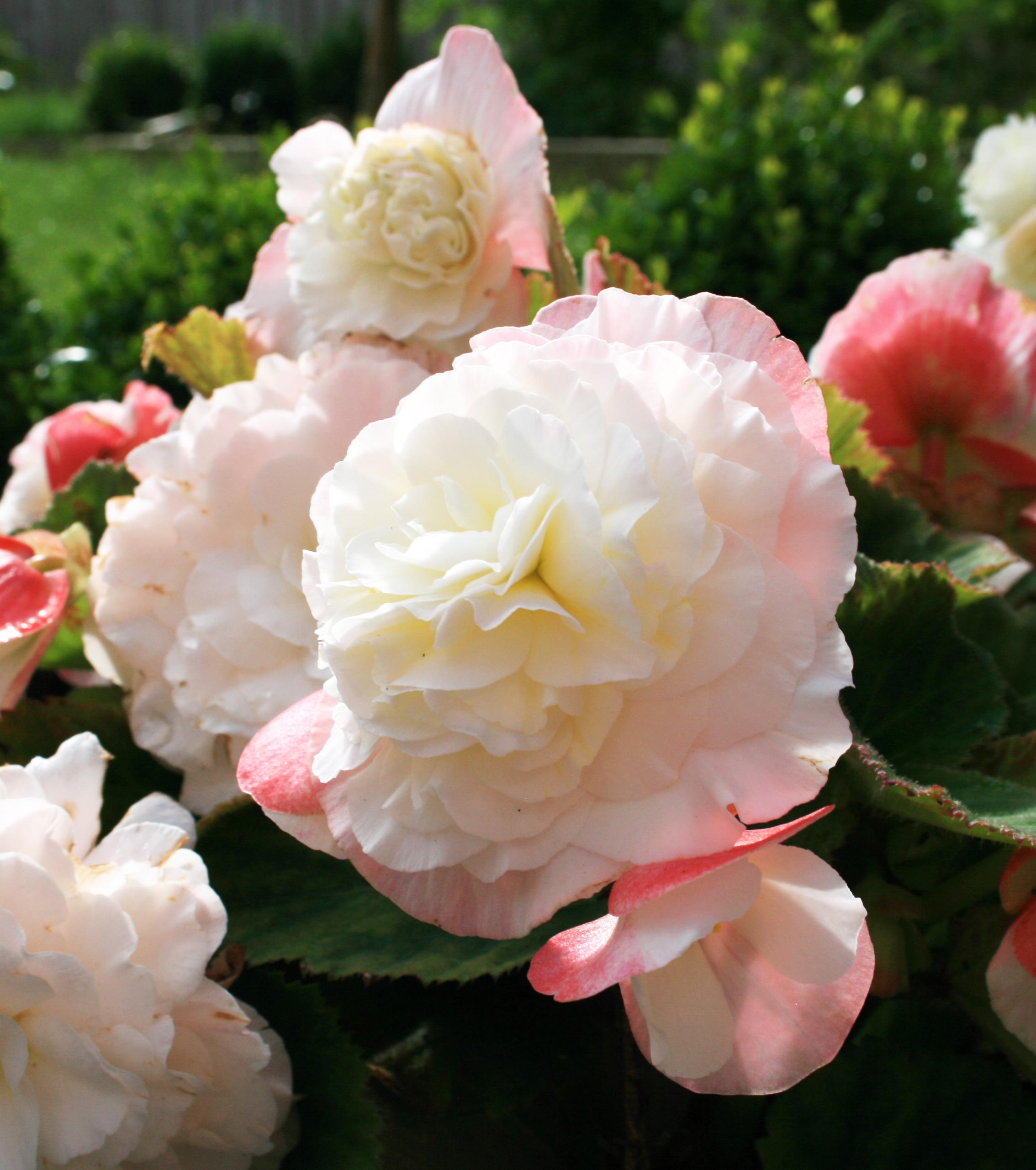 Begonias | Belfast Back Garden
