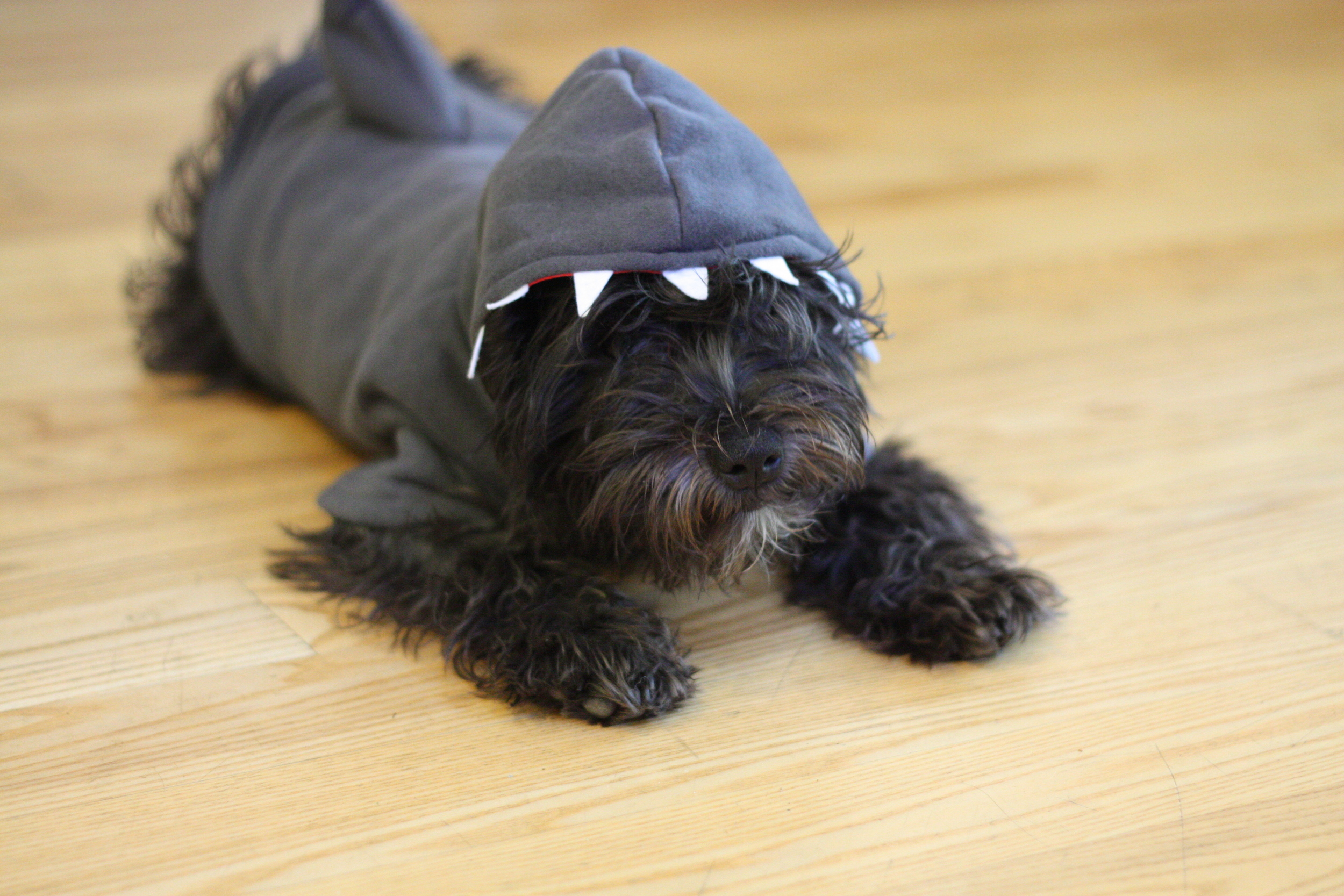 Although she makes an adorable schnauzer shark, Zelda despises this shark sweater and alternates between freezing like a statue and flopping around like a fish when she has it on.