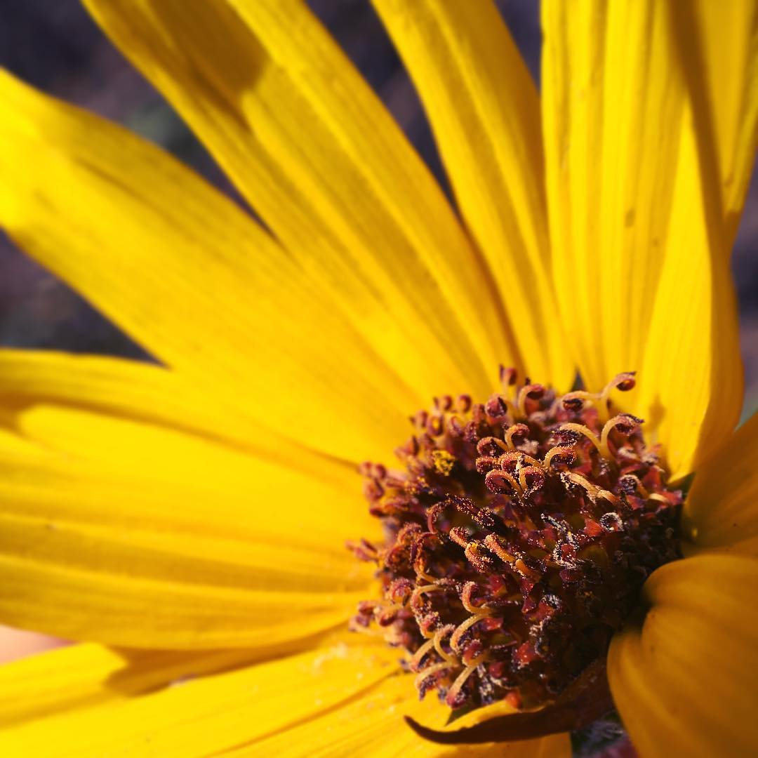 that-pollen-though-baby-sunflower-or-maybe-a-wild-daisy-under-a-macrolens-macro-allaboard-the-allergy-express-362365-photojojo-irislens-go-for-a-hike-nature-flowers-yellow-bright_24052265526_o.jpg