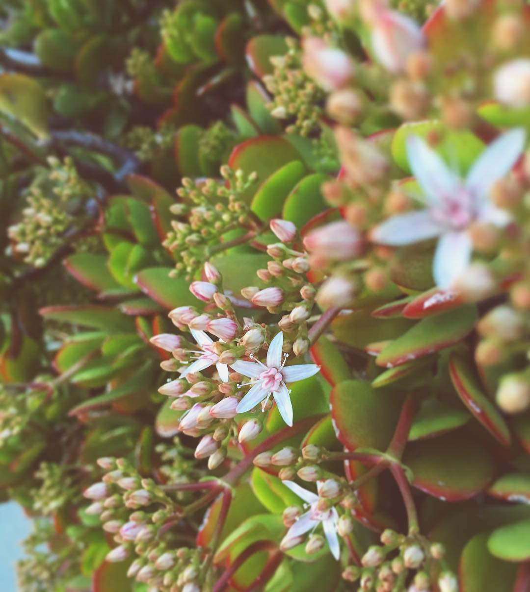 just-noticed-our-sweet-little-jade-bloomed-tiny-white-flowers-ahoy-succulents-succulentgarden-3366_23793033059_o.jpg